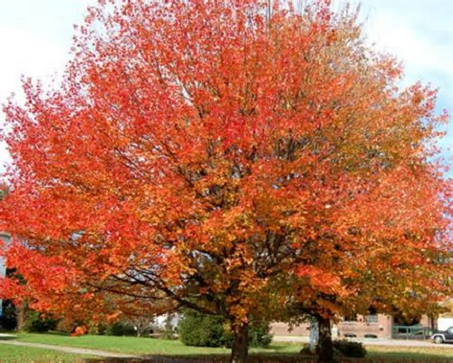 October Glory Maple 25G []